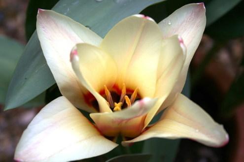 Claire_tulip